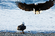 A bald eagle (Haliaeetus leucocephalus) prepares to defend against an attack from another eagle trying to steal its chum salmon along the banks of the Chilkat River in the Chilkat Bald Eagle Preserve near Haines in Southeast Alaska. Winter. Afternoon.