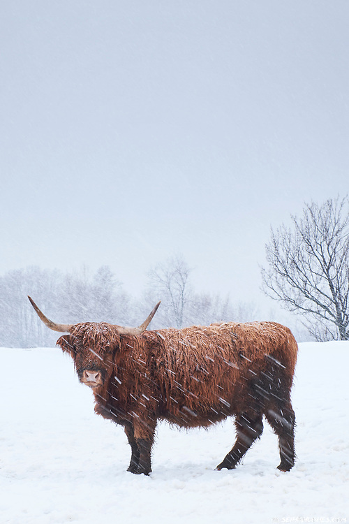 A Highland cow endures the harsh winter in Sutton, Quebec, Canada.