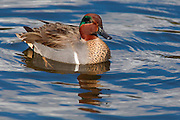 A green-winged teal swims in the Meadowbrook Pond in Seattle, Washington. The dabbling duck, the smallest in North America, is strongly migratory and winters far south of its breeding range.