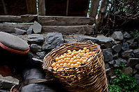 A woman carries a basket of apricots towards her rooftop for drying in the village of Giabong in the Ropa Valley of Himachal Pradesh, India