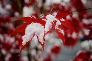 Snow falling on red japanese maple tree leaves, Arlington, Virginia