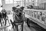 Pelusa roams about in his wheelchair at Milagros Perrunos shelter for disabled dogs in Lima, Peru.