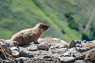 Marmot in Rocky Mountain National Park.