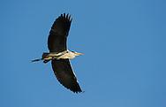 Grey heron, Ardea cinerea, Lake Kerkini, Macedonia, Greece