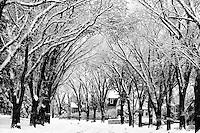 Snow swirls among elm trees on Regina's Garnet Street, Regina Saskatchewan