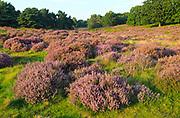 Heather plants, Calluna vulgaris, heathland vegetation, Sutton Heath, Suffolk Sandlings, Shottisham, England, UK
