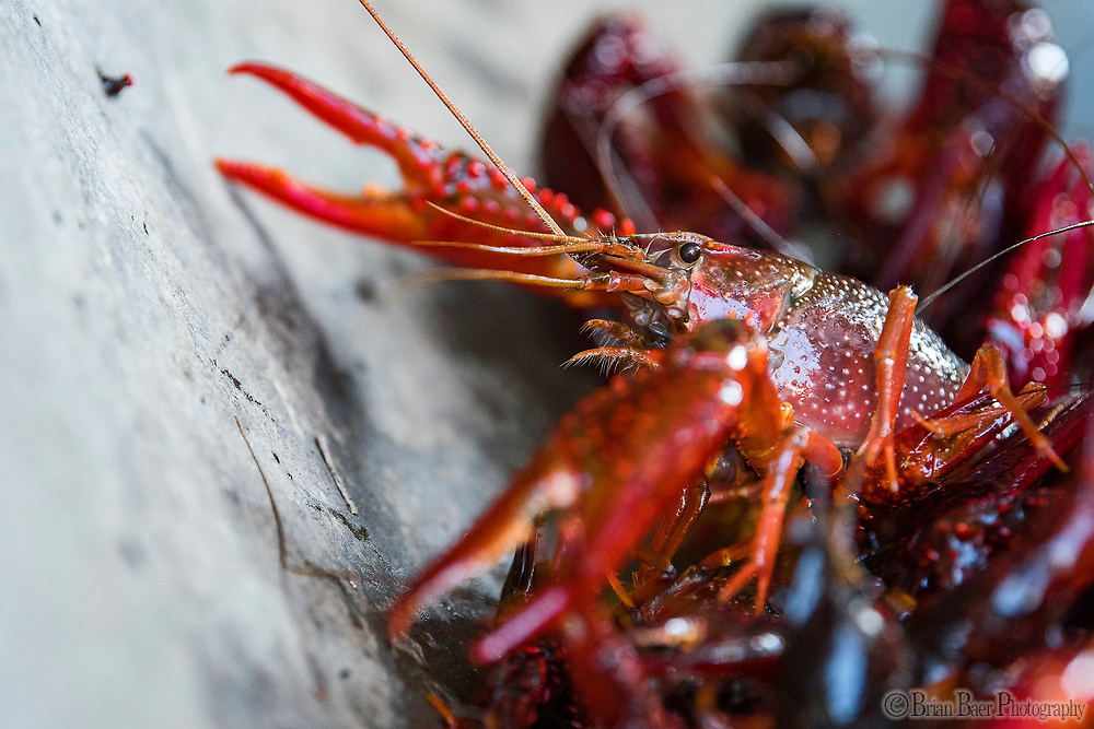 A crayfish sits on the scale during the Sacramento farmers market under Highway 50, Sunday Sep 10, 2017. photo by Brian Baer
