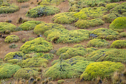 Neneo (Azorella proflifera; syn. Mulinum spinosum) is a rounded bush with yellow flowers and spiny leaves, typical of the Patagonian steppe and related to fennel. Location: Chacabuco Valley, 180 miles south of Coyhaique, the regional capital of Aysen, in Chile, South America. Patagonia National Park consists of the Tompkins Conservation donation in addition to the former national reserves of Jeinimeni and Tamango, plus fiscal land. Parque Patagonia was created by Conservacion Patagonica, a nonprofit incorporated in California and founded in 2000 by Kris Tompkins. On January 29, 2018, Chilean President Michelle Bachelet and Kris Tompkins signed a decree creating 5 national parks, including Patagonia National Park.