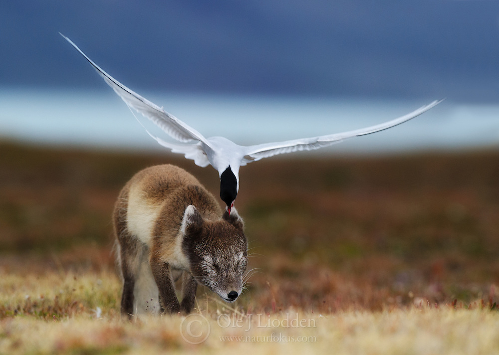 Arctic Fox (Alopex lagopus) and Arctic tern (Sterna paradisaea) fighting in Spitsbergen, Svalbard