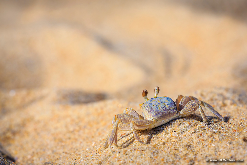 Sunbathing ghost crab on the sandy beaches of the Outer Banks, NC.