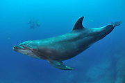 Bottlenose dolphin (Tursiops truncatus), photographed off Mexico, Pacific Ocean.