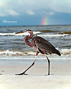 Great Blue Heron Strutting in Front of a Rainbow at Fort Myers Beach, Florida