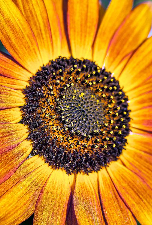 Orange sunflower.