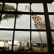 Kenya. Nairobi airport.  Image of a giraffe printed on windows overlooking the airfield