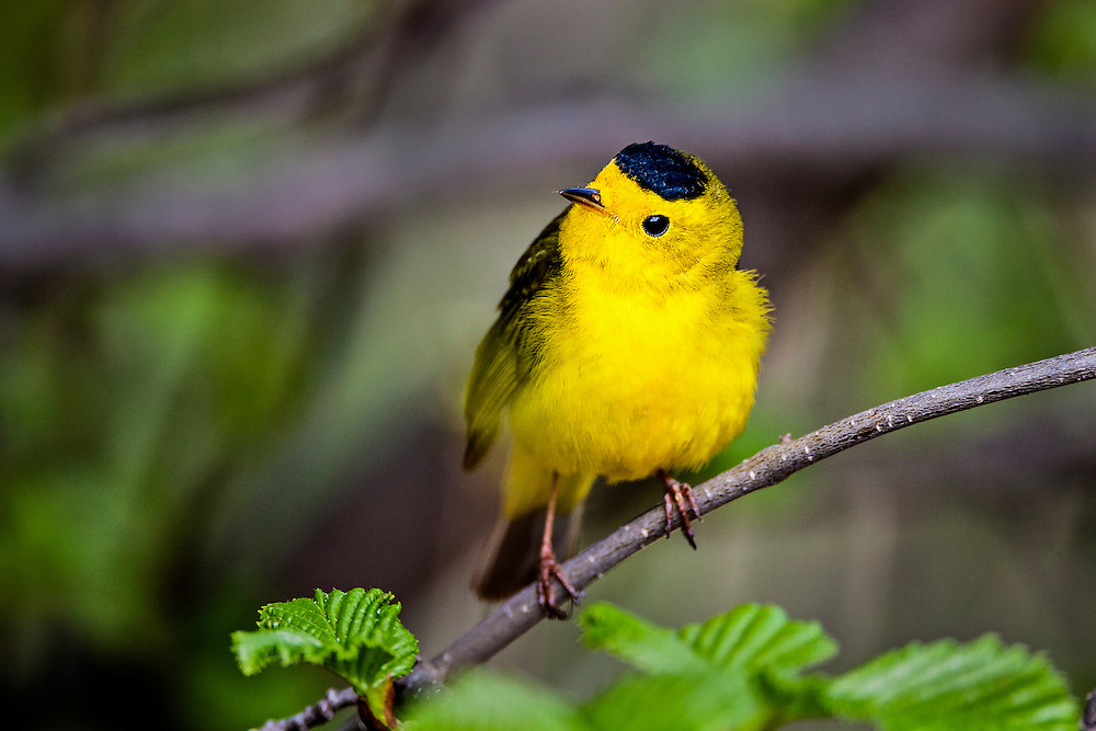 Alaska.  Bright yellow adult male Wilson's Warbler (Wilsonia pusilla) perched on an alder branch in May at Potter Marsh.