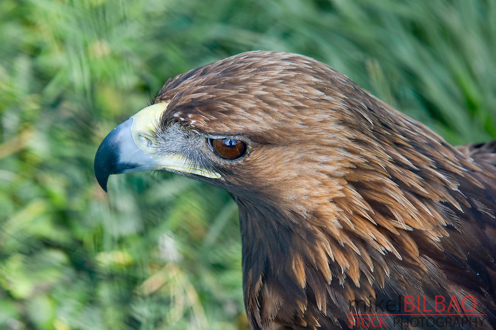 Golden Eagle (Aquila chrysaetos). Head detail.<br />