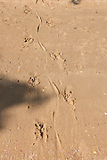 Snapping Turtle tracks; Chelydra serpentina; on river beach; NJ, Maurice River;