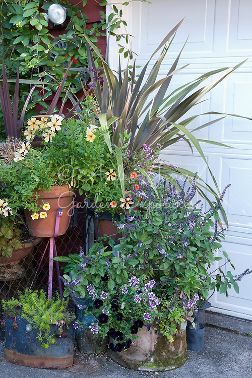 Group of planted containers including flowering basil, Petunias, bedding plants and a Phormium<br /> <br /> Nancy Goldman's recycled garden (Nancyland), Portland, OR, USA