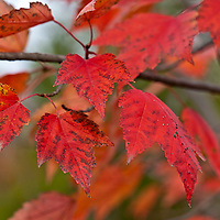Red maple leaves in autumn Acer rubrum)