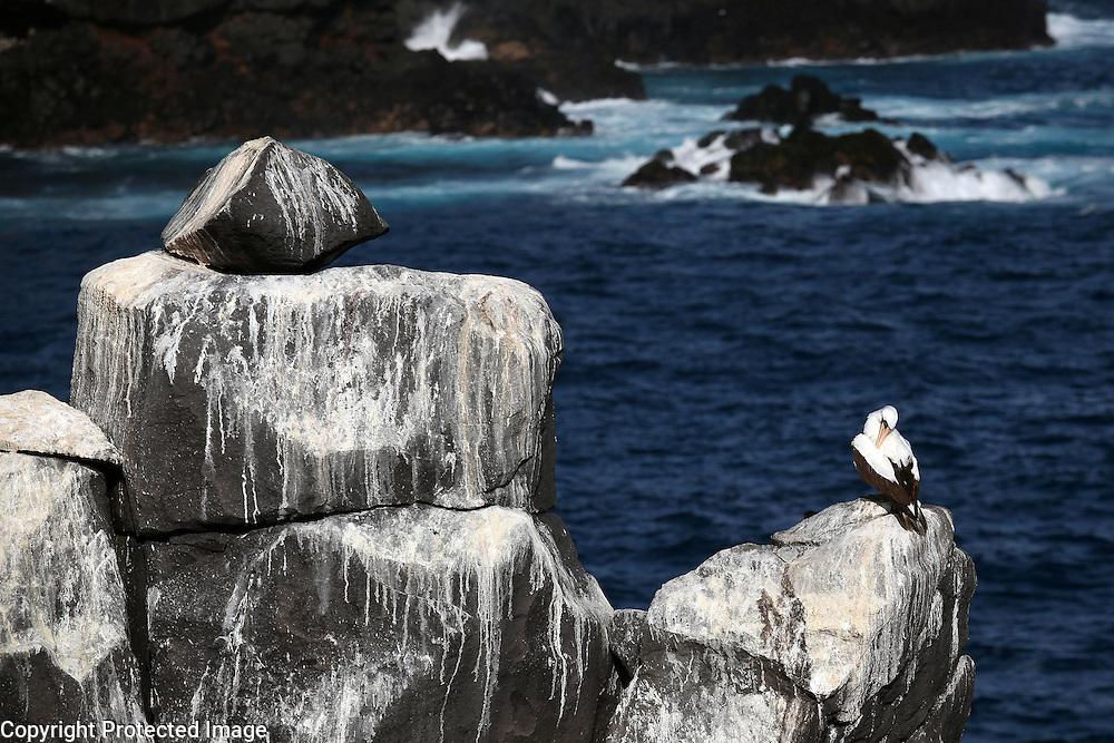 A nazca booby preens itself on a rock on Espanola Island in the Galapagos.