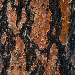 Ponderosa Pine (Pinus Ponderosa) Bark, Lake Chelan National Recreation Area, North Cascades National Park, Stehekin, Washington, US, June 2007