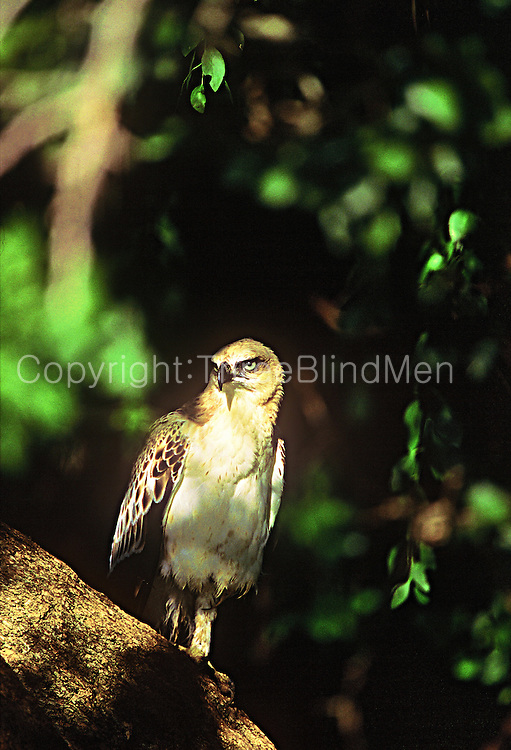 A sub-adult changeable hawk-eagle, Yala