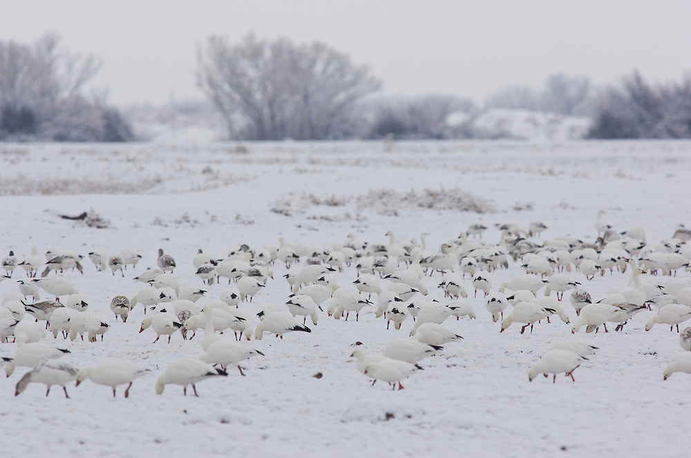 Snow Geese; Chen caerulescens, Bosque del Apache NWR, New Mexico