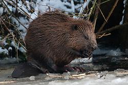 Wilde bever in Gronings natuurgebied; Wild Beaver in Dutch Nature reserve