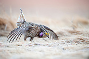 Sharp-tailed Grouse, Tympanuchus phasianellus, male, South Dakota
