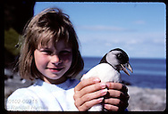 Eva Valsdottir, 9, holds puffin chick at arm's length before releasing it to sea on Heimaey. Iceland