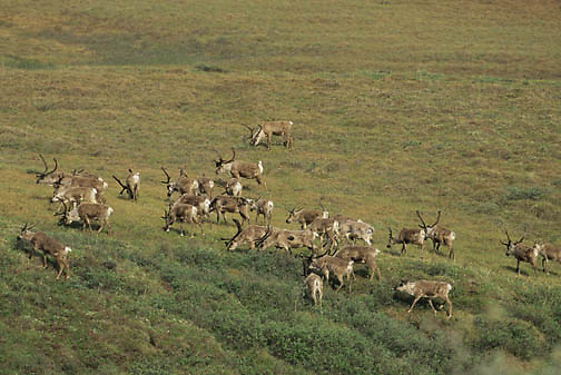 Barren Ground Caribou (Rangifer arcticus).  A porcupine herd in the Arctic National Wildlife Refuge of Alaska.