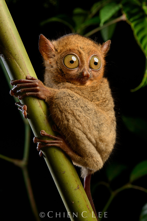 The Western Tarsier (Cephalopachus bancanus borneanus), also known as Horsfield's Tarsier, is a small nocturnal primate occurring in the lowland forests of Sumatra and Borneo. They are carnivorous and feed mainly on insects, but occasionally take birds and bats. Sarawak, Malaysia.