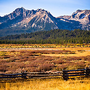 Piva ranch , Stanley , Idaho June Cattle, 2010