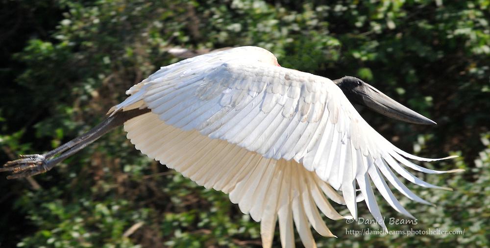 Jabiru in flight on a river near San Lorenzo de Moxos, Beni, Bolivia