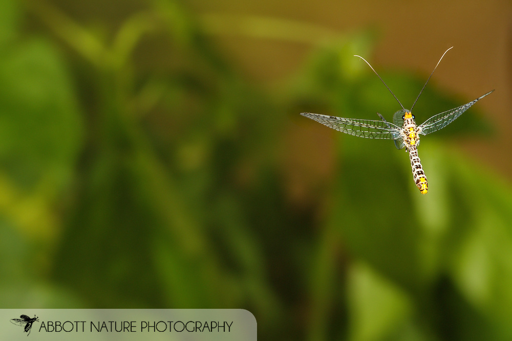 Green Lacewing (Abachrysa eureka) flying<br /> ALABAMA: Tuscaloosa Co.<br /> Tulip Tree Springs off Echola Rd.; Elrod<br /> 30-May-2016<br /> J.C. Abbott #2823 &amp; K.K. Abbott