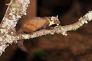 A young pine marten feeding at a feeding station under artificial light.