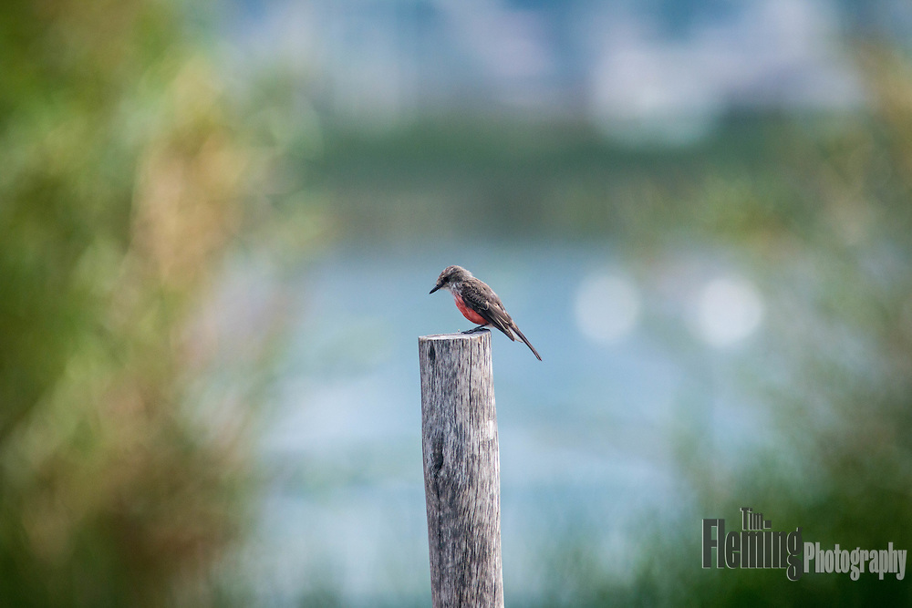 Vermilion flycatcher  perching on a post, San Pablo Lake, Ecuador.
