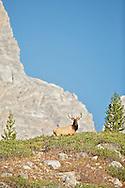 Trophy Bull Elk on ridge in the Grand Tetons of Jackson Hole, Wyoming