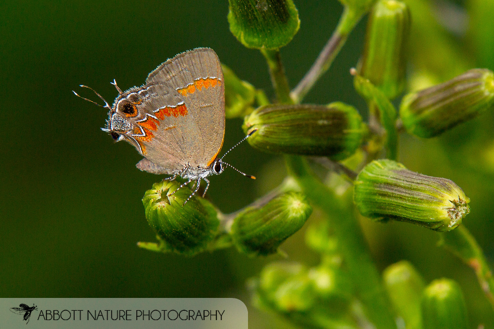 Red-banded Hairstreak - Hodges#4299 (Calycopis cecrops)<br /> United States: Alabama: Tuscaloosa Co.<br /> Tulip Tree Springs off Echola Rd.; Elrod<br /> 11-Sep-2016<br /> J.C. Abbott #2867