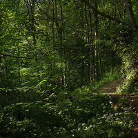 Sunlight falling on a path in a wild wood in England