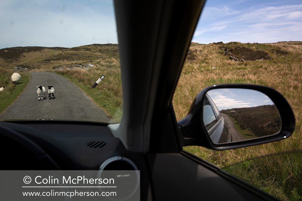 Lambs on the road on the the Inner Hebridean island of Colonsay on Scotland's west coast.  The island is in the council area of Argyll and Bute and has an area of 4,074 hectares (15.7 sq mi). Aligned on a south-west to north-east axis, it measures 8 miles (13 km) in length and reaches 3 miles (4.8 km) at its widest point, in 2019 it had a permanent population of 136 adults and children.