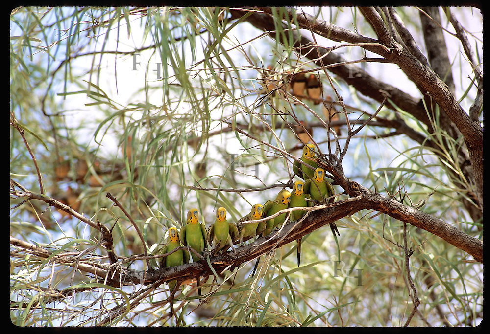 Eight budgerigar birds perch along branch as zebra finches sit in background; Tanami Desert Australia