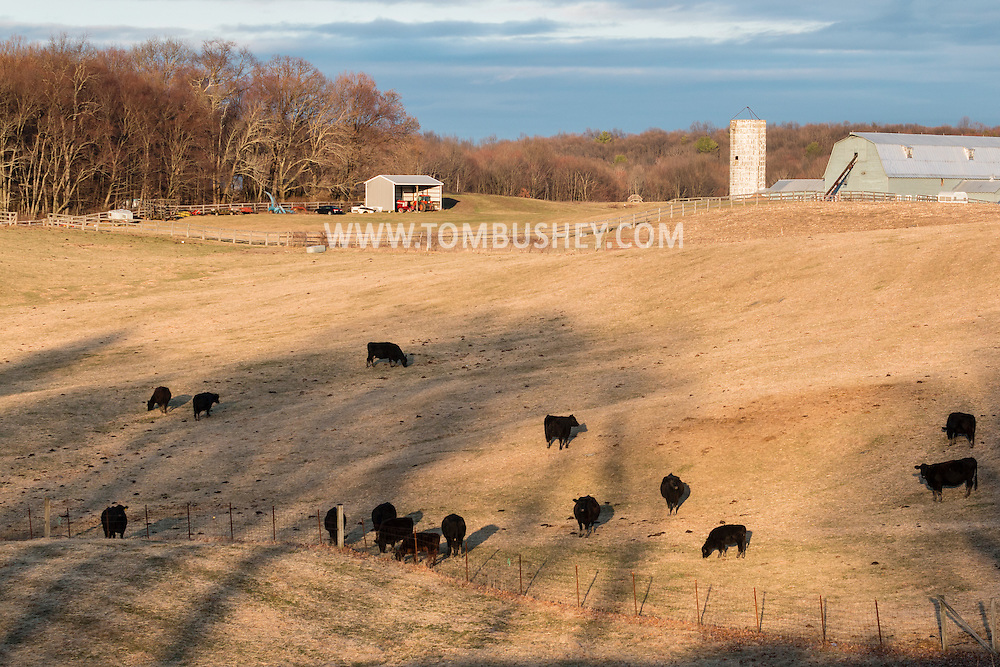 Mouint Hope, New York - Cattle graze in a field at Pierson's Farm on March 15, 2016.