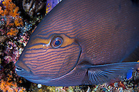 Surgeonfish with night coloration.<br /> <br /> Shot in Indonesia