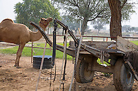 Rajasthan India camel in rural area