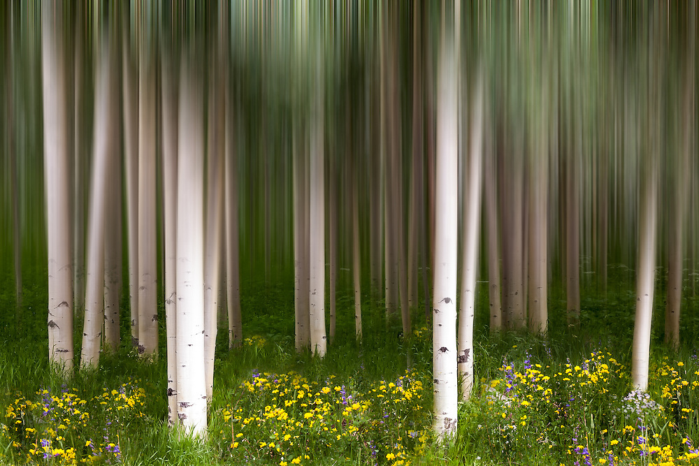 Aspen trees and summer wildflowers combine with a motion blur to create a dreamy scene in Aspen, Colorado.