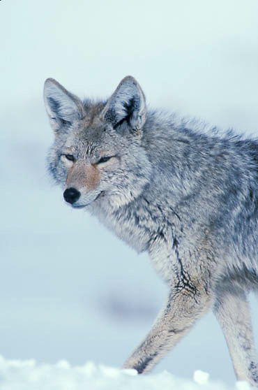 Coyote, (Canis latrans) Portrait of lone coyote. Winter. Yellowstone National Park.