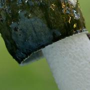 Stinkhorn detail
