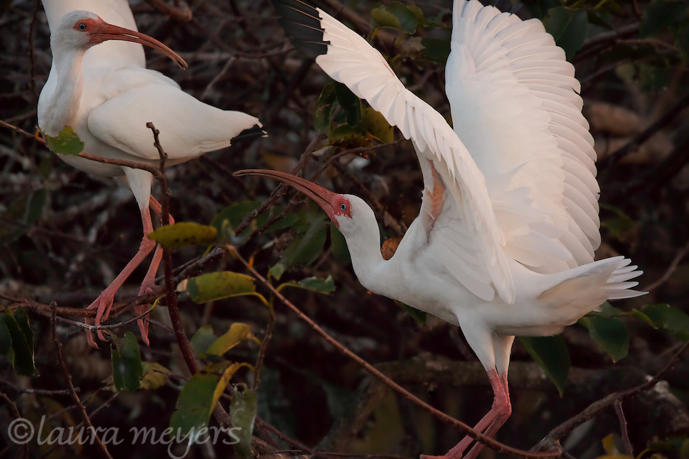 Two White Ibis in a tree at dusk at the Wakotahatchee Wetlands in Palm Beach Florida