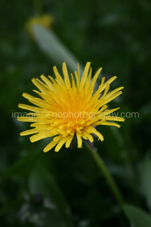 Yellow dandelion flower